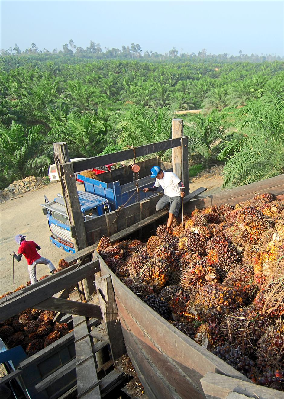 Power output: Oil palm's yield of oil per hectare of crop outstrips any other oil-producing crop, and it requires far fewer applications of pesticides than other such crops, according to authors Alain Rival and Patrice Levang.