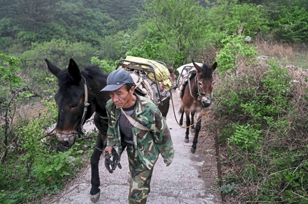 Manual labour:  A worker leading mules   to a restoration site at the    Great Wall in Xiangshuihu, Huairou district, on the outskirts of Beijing.         u2014 AFP