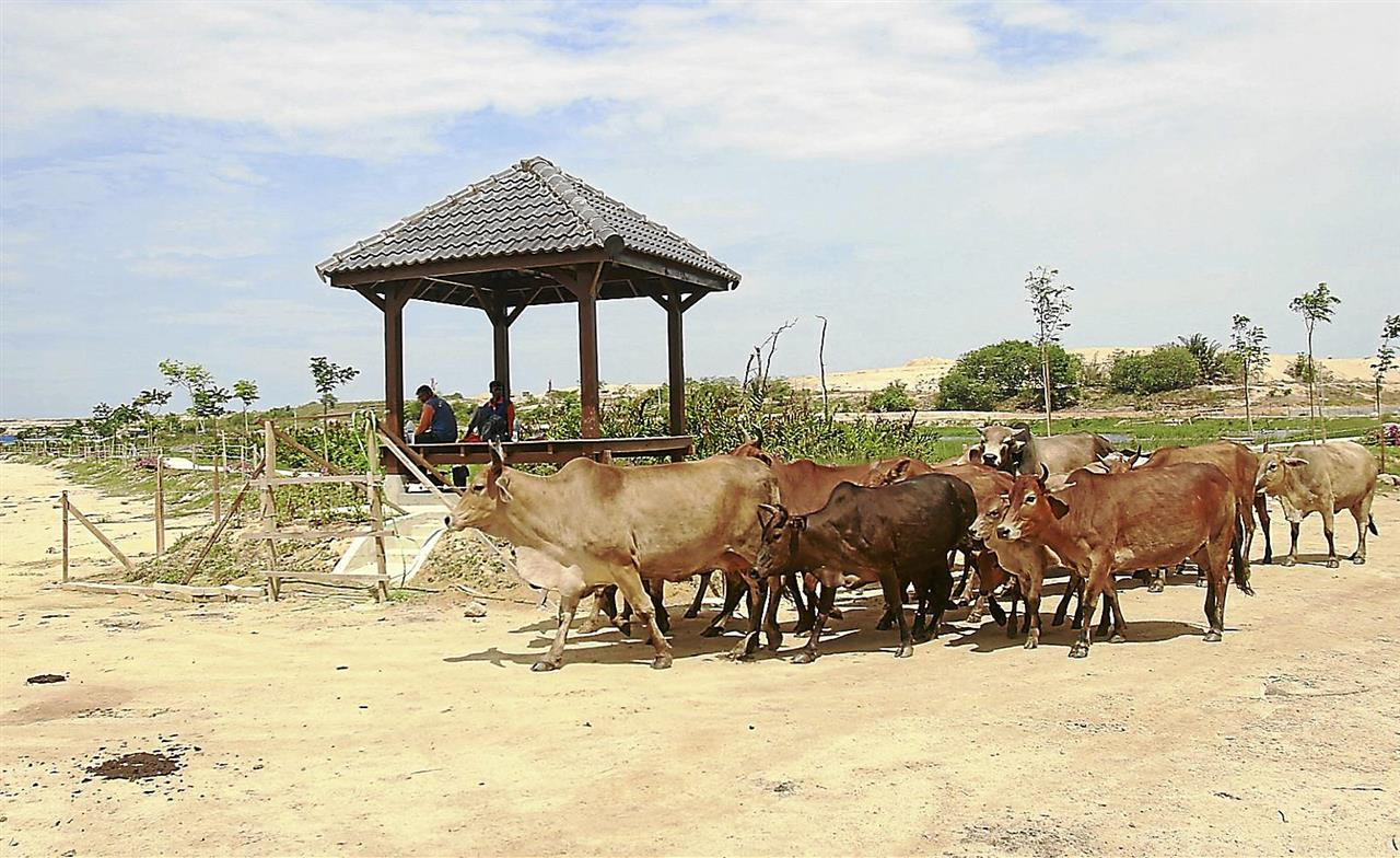 Cattle grazing near the bird-watching gazebo and the fenced-up wetlands area that has been turned into a recreation park in Ladang Byram, Pulau Burung in Nibong Tebal, South Seberang Prai, Penang yesterday. MUHAMAD SHAHRIL ROSLI/The Star. JULY 29, 2013.