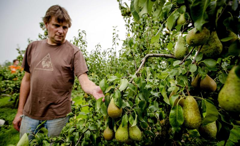 Dutch fruit grower Bert de Haan checks the quality of DUtch Conference pears in his orchard in Kerk Avezaath,on Aug 7, 2014. Due to the Russian import boycot of fruit from EU and other countries, his turnover will be a lot smaller, as 40% of the Dutch Conference pears are exported to Russia - EPA Photo.
