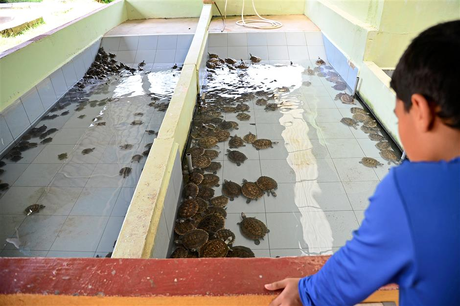 At the centre in Kuala Berang, baby terrapins are raised in shallow ponds on a diet of fish pellets, moss and kangkung shoots.