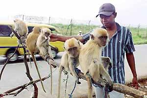 f_pg03monkeys