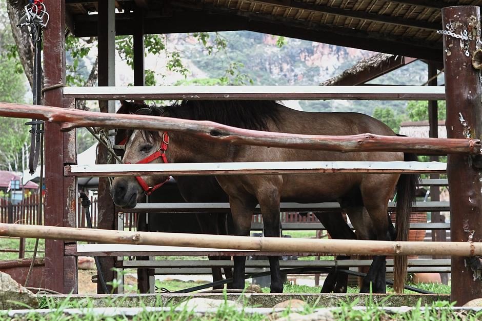 Ponies kept in a shed at the Lubuk Timah Hotsprings and Recreational Centre.