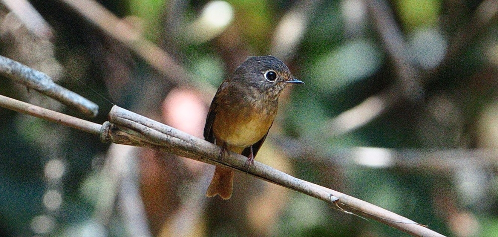 Ferruginous Flycatcher is a migratory bird.