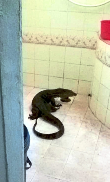 Residents have found monitor lizards in their homes.