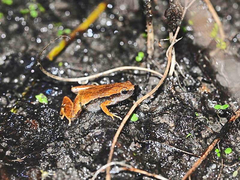 Tiny but loud: The Dark-sided Chorus Frog (Microhyla heymonsi) is barely the size of a fingernail but has a rather loud, quack-like croak. — Photo Courtesy of Rimba Section 12 Project