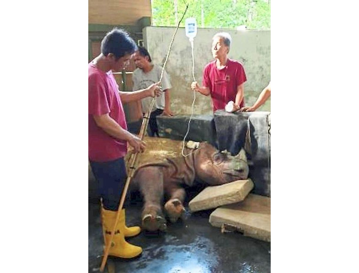 Struggle to heal: Tam being cared for by his caretakers at the Tabin Wildlife Reserve in Sabah