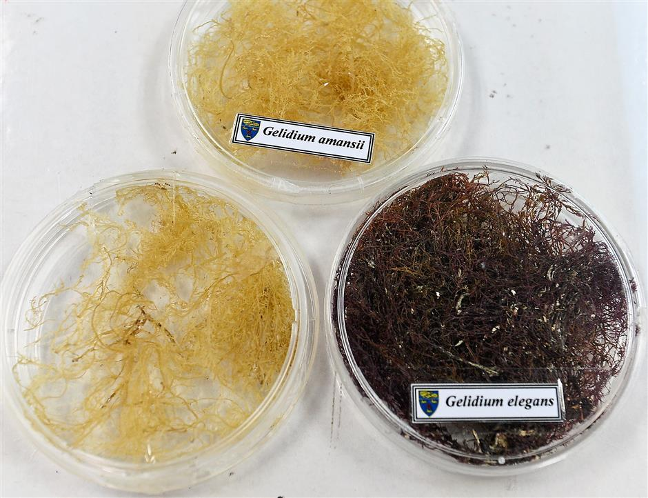The UM team hopes to find a local species that is good enough for pulp production. - ONG SOON HIN/The Star PhD student Mohd J. Hessami is working on turning r. The team believes i