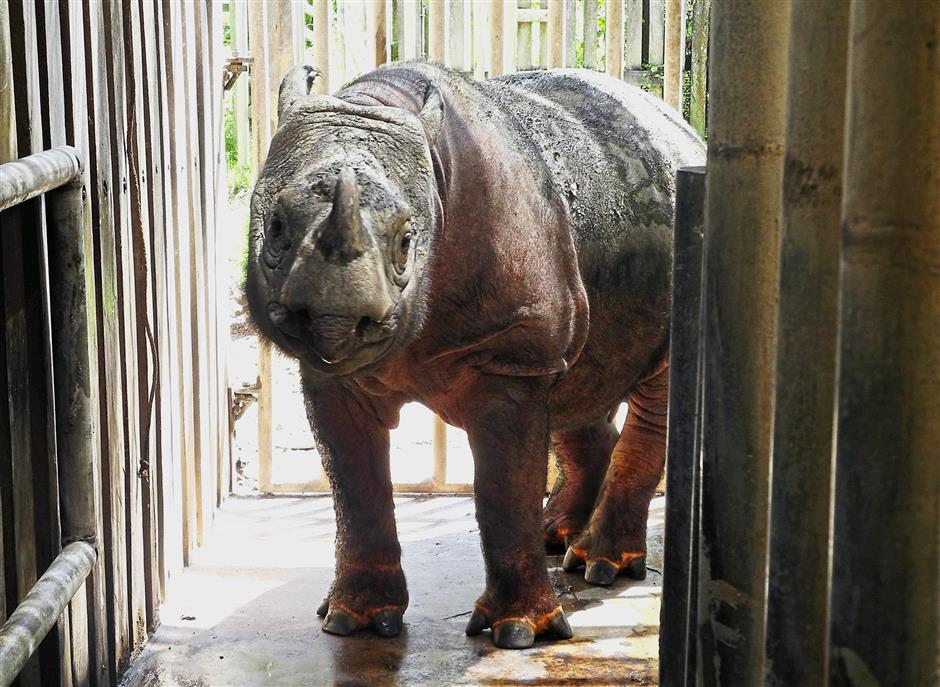 Tam is one of the last surviving endangered Sumatran rhino here in Malaysia, which has been rescued and kept at BRS since 2008, to hopefully contribute to babies that can carry the species through generations to come.