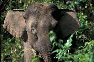 p3elephant
