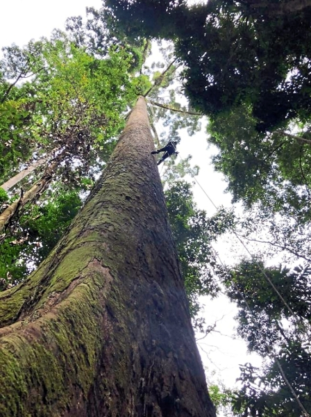 Overcoming tree-mendous fear: Jamiluddin climbing the world's tallest known tropical tree and smiling at the top (inset).