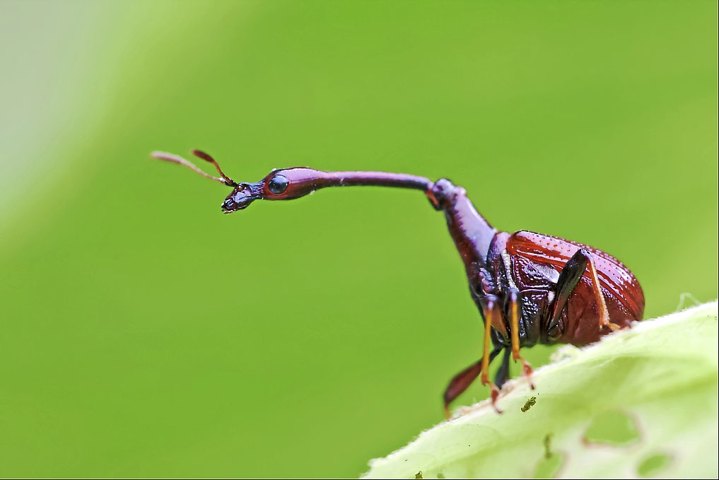 The male giraffe weevil beetle has a long neck.