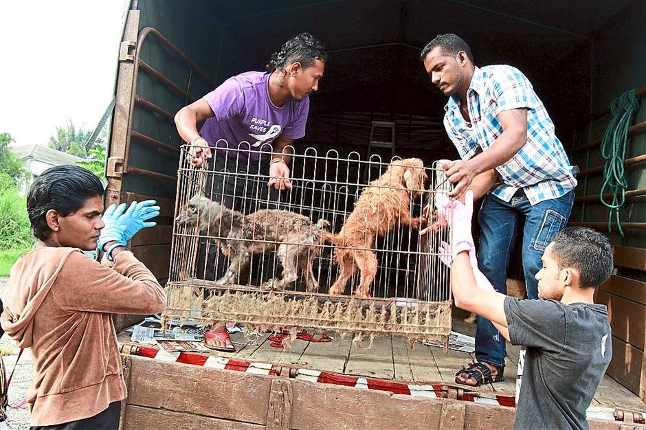 New sanctuary: Malaysia Independent Animal Rescue members loading a cage with two rescued poodles onto their van.