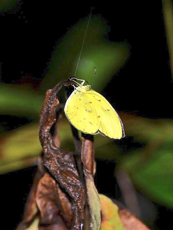 Yellow beauty: Common Grass Yellow (Eurema hecabe), a common, sunshine-loving butterfly often found among wildflowers. — Photo Courtesy of Rimba Section 12 Project