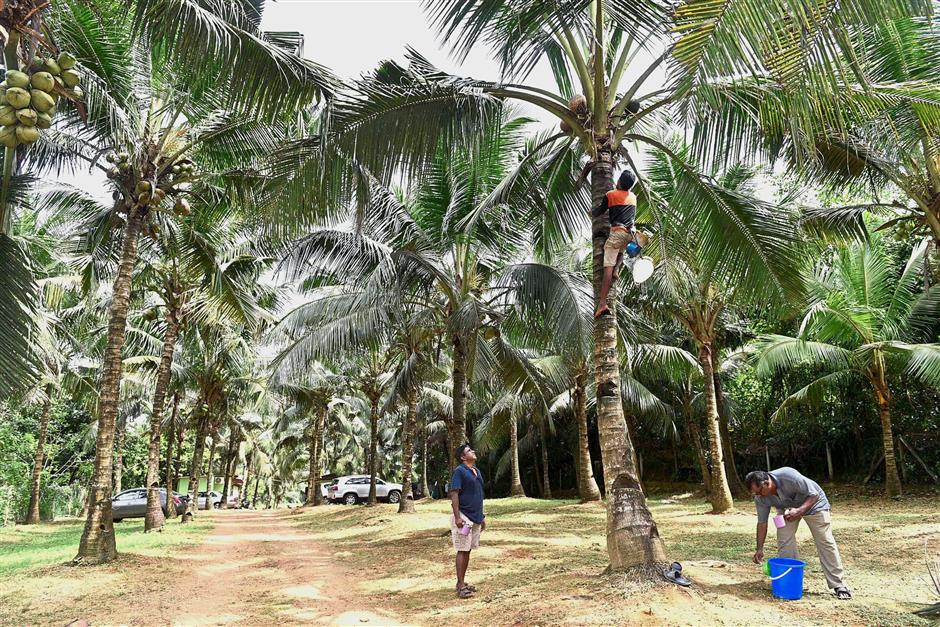 Toddy tapper Wong Boon Lim going up the palm tree to collect toddy at the Divine Farm in Karangan, Kedah. — Photos: GARY CHEN/The Star