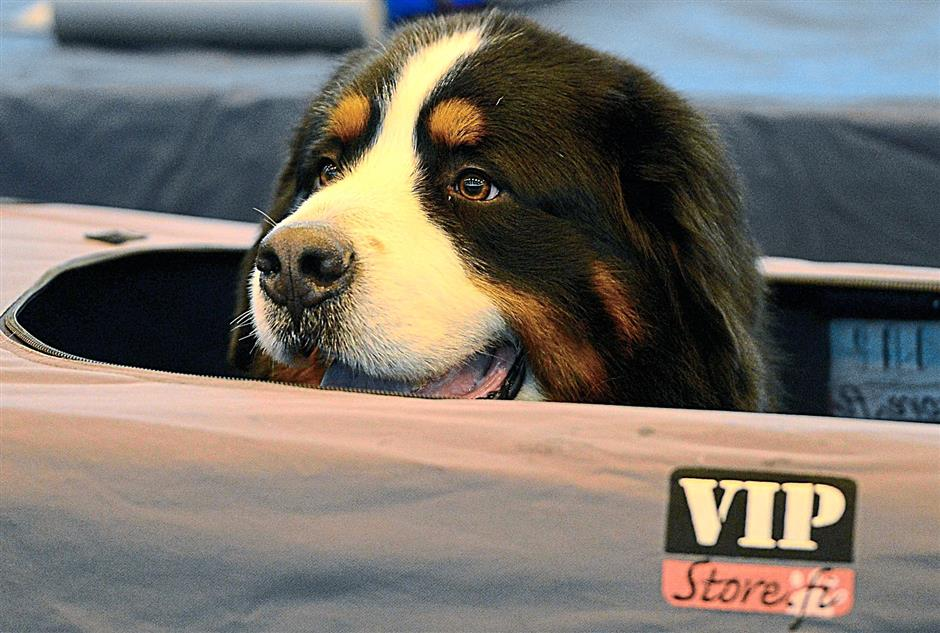A Bernese Mountain Dog looking out of its tent