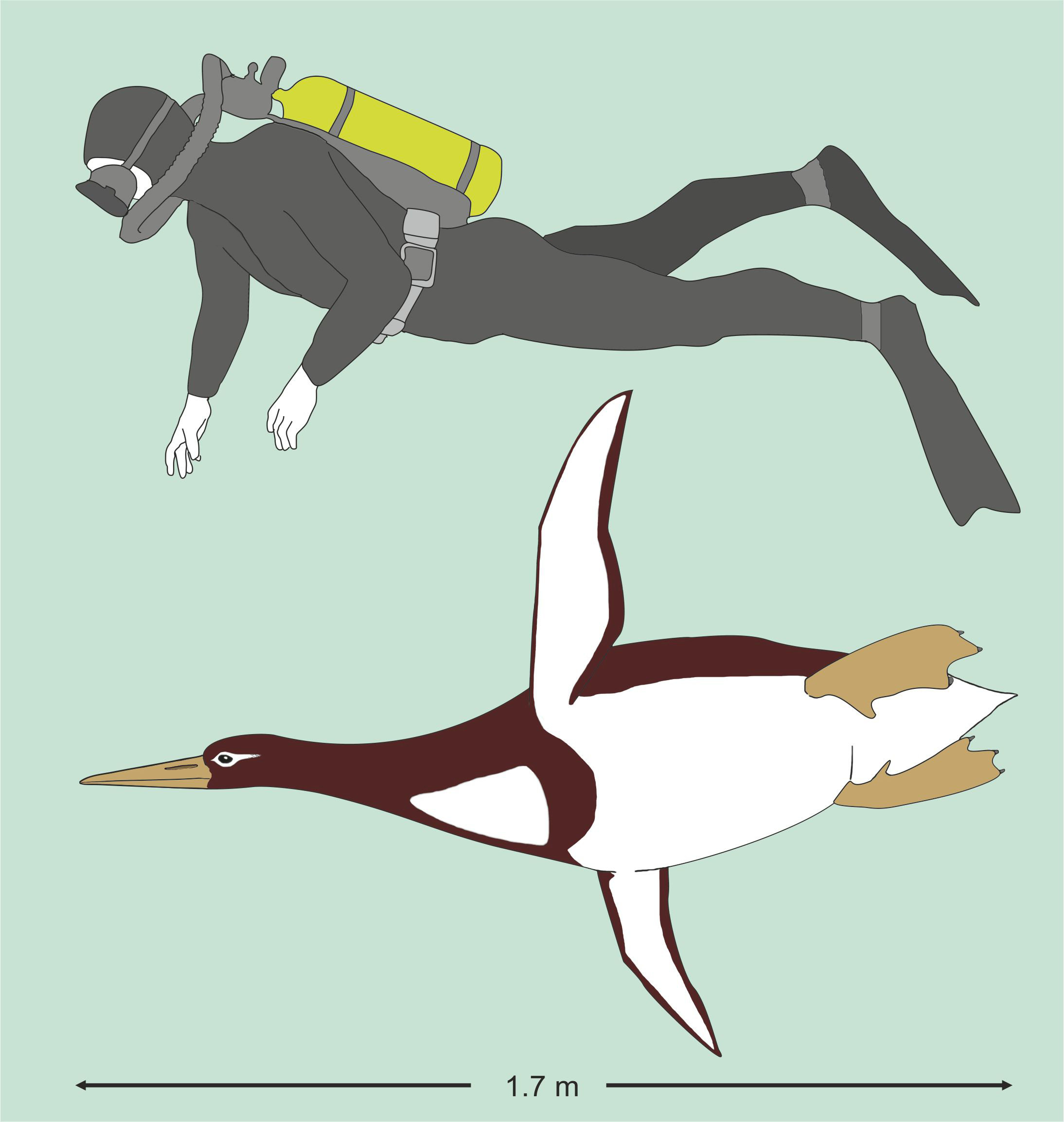 Kumimanu biceae, an ancient penguin, which lived 55 to 60 million years ago, weighing 225 pounds (101 kg) and measuring nearly 6 feet (1.77 m) is pictured in comparison to a human diver in this handout artist's reconstruction.  G. Mayr/Senckenberg Research Institute/Handout via REUTERS