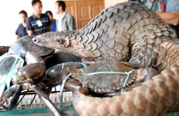 doc64tjtvjr7rq1f85mmluv - The pangolins declared as crabs being imported from Sabah and are believed to be exported to foreign market where demands of exotic meals are high.