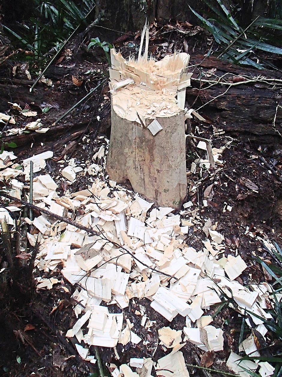 Rampant: A photograph provided by a local conservation group showing agarwood trees in a protected forest in Peninsular Malaysia, already destroyed by poachers.