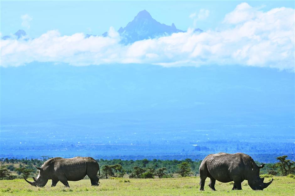 A picture taken on May 28, 2019 shows a pair of white rhinoceros grazing in the morning, with Mt. Kenya's peak in the background, at Ol-Pejeta conservancy at Laikipia's county headquarters, Nanyuki. - Ol-Pejeta, a private conservancy on Kenya's Laikipia plateau that shelters, among other endangered giants, the only two northern white rhinos left anywhere on earth, launched what it calls the world's first wildlife tech lab, that develops the latest technological weaponry to combat poaching. (Photo by TONY KARUMBA / AFP)