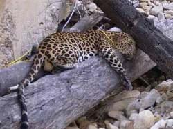 p2leopard