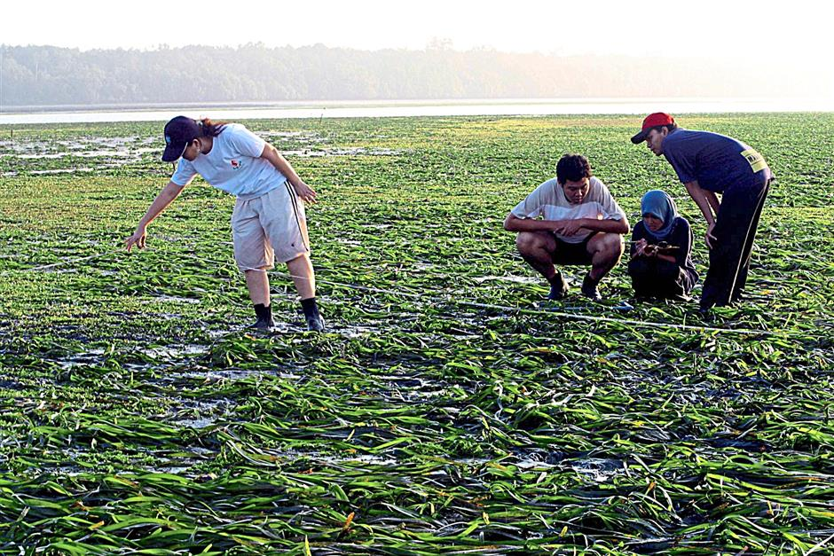 Studying seahorses: Save Our Seahorses volunteers surveying the seagrass meadow at the Sungai Pulai estuary; the area hosts the country's largest seahorse colony. - Filepic