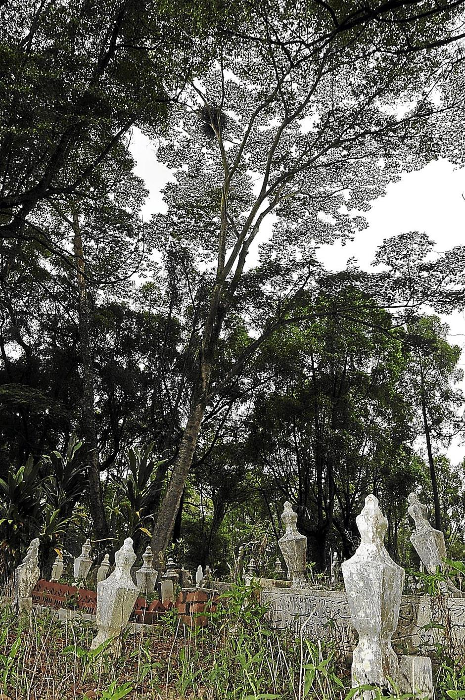 The White-bellied Sea Eagle nest spotted at the Mahmoodiah Islamic Cemetery here in Johor Baru on Feb 1. Vast developments taking place in its natural habitat had force the birds of prey to choose the cemetery to build its nest. Pic by ABDUL RAHMAN EMBONG/The Star