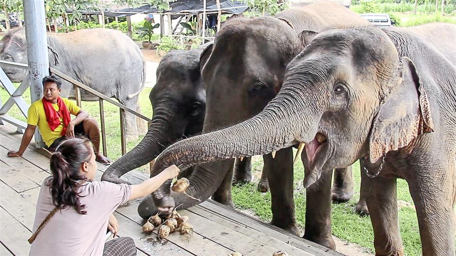 Travellers on Isan Explorers ethical elephant tours have the chance to feed the gentle giants.