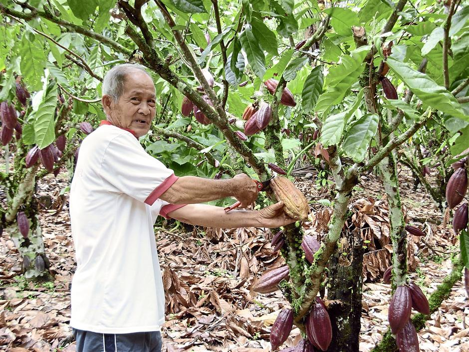 Ready supply: A file image of Bong Kim Yung So at his cocoa farm in Serian Sarawak. The availability of high-quality cocoa locally is good news for Zar Cosmetics.