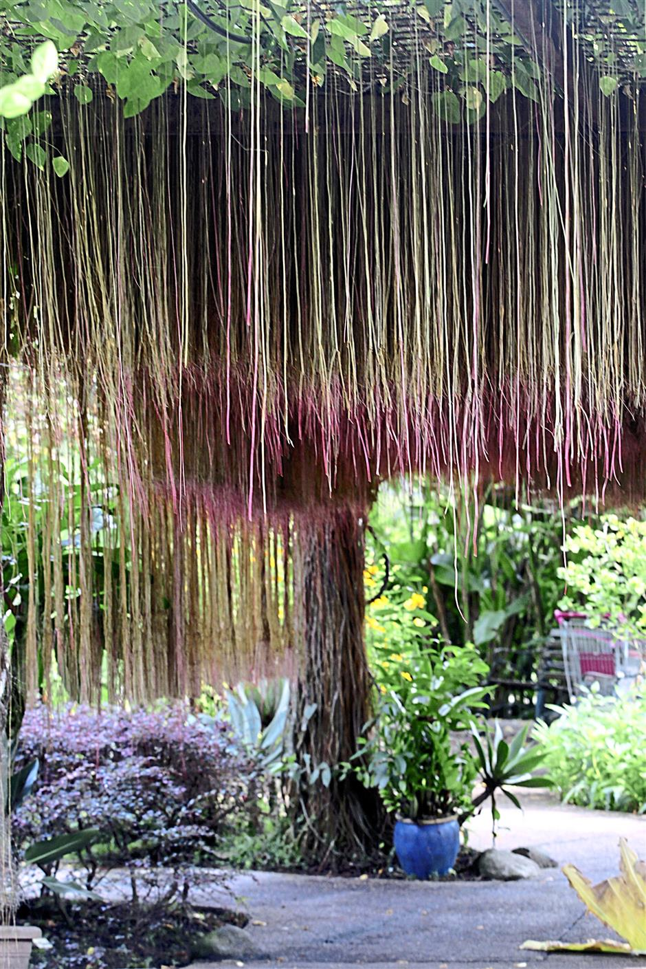 Javan treebine's swaying aerial roots lend a touch of romance to the Secret Garden.