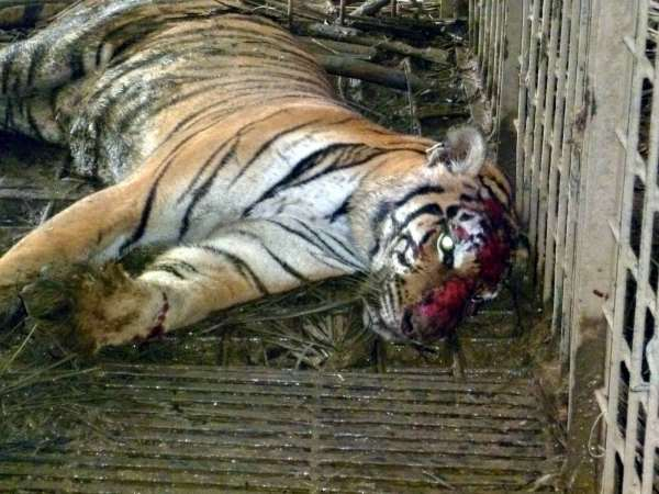 Trapped and injured female tiger