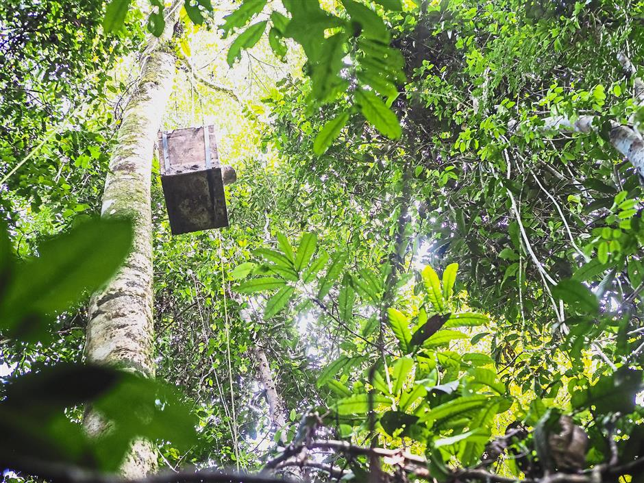 The artificial nest box being hoisted up to a tree in Kinabatangan, Sandakan in Sabah. These nest boxes, equipped with camera traps and data loggers, are to protect endangered hornbills from poachers. — Courtesy pic