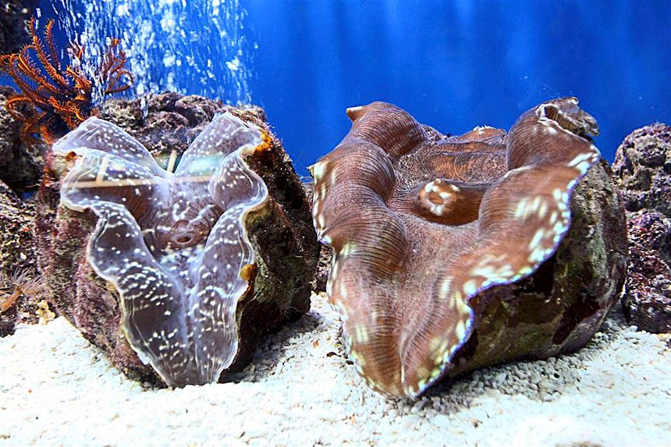Some of the giant clam were displayed at the Marine Ecology Research Centre at Gayana Eco Resort.(picture for story slug kkrmarinepark)