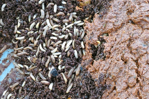 To ensure freshness, the larvae feed on food waste for no longer than a day.