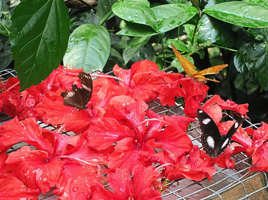 The staff at the butterfly park leave plenty of hibiscus flower on trays in the garden to attract butterflies.
