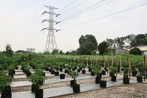MPSJ allocated land under the high tension cables at Jalan TPP 1/36, Taman Perindustrian Puchong, for the chilli project.