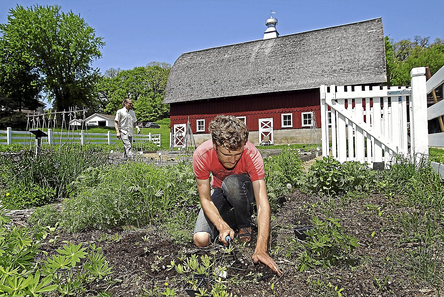 Grant Olson plants lupine in Heritage Farm in Decorah, Iowa, the headquarters of Seed Savers Exchange.