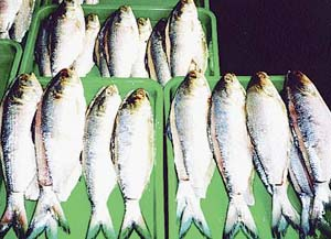 p27fish
