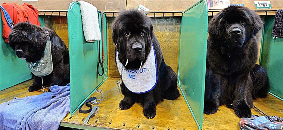 Newfoundland dogs waiting their turn to be shown during the first day of Crufts