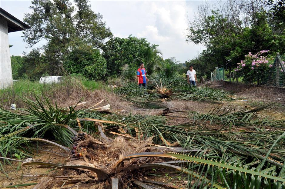 Oil palms damaged by elephants in Kampung Lukut in Kota Tinggi, Johor. - Filepic