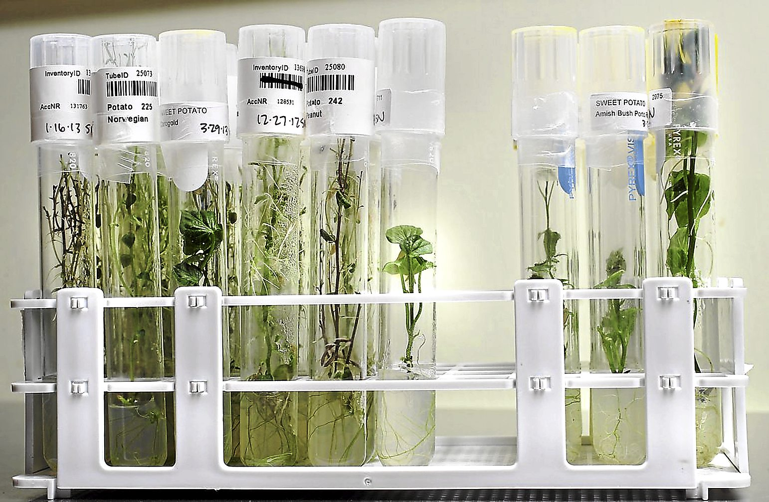 Seed Savers Exchange maintains a potato collection in tissue culture by growing tiny plants in test tubes to avoid virus and bacteria contamination.