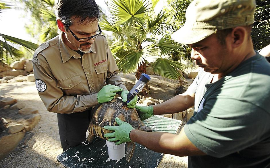 Paul Gibbons, left, with assistance from Armando Jimenez on January 14, 2014, uses a drill tool to deface the golden domes of two Plaughshare tortoises in Los Angeles. The shells are defaced to reduce their value on the black market, and the permanent marking also makes it easier for law enforcement authorities to trace them. (Al Seib/Los Angeles Times/MCT)