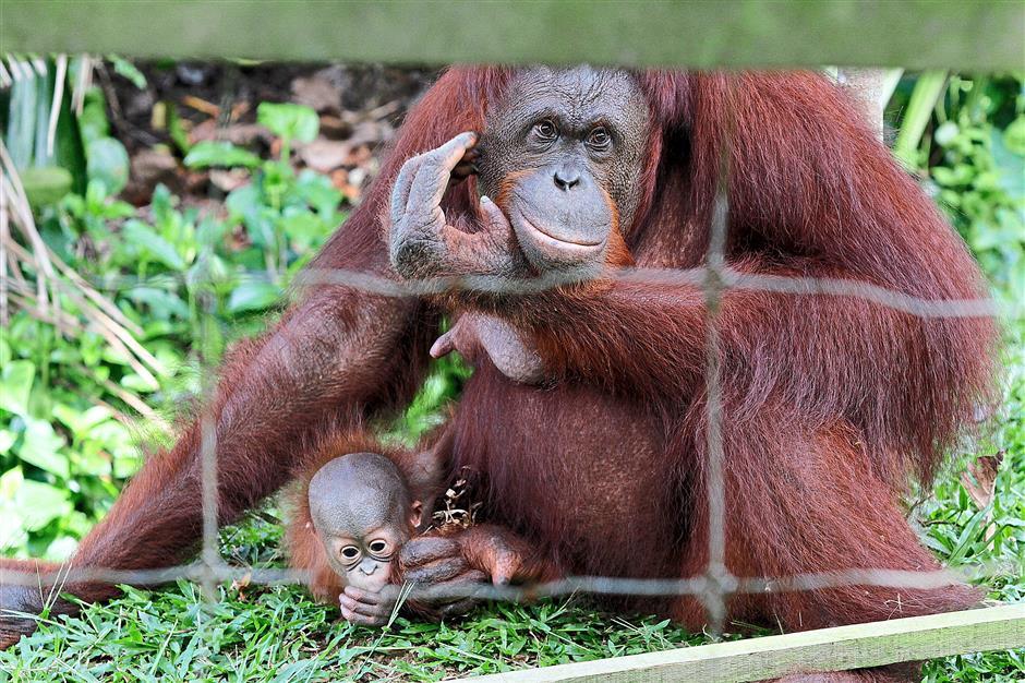 An orang utan mother is protective of her infant at the Bukit Merah Orang Utan Island near Taiping, Perak. — LIM BENG TATT/The Star