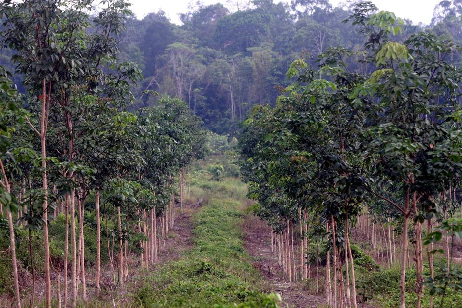 This latex timber clone plantation in Johor might be mistakenly defined as forest by satellite data. - Filepic