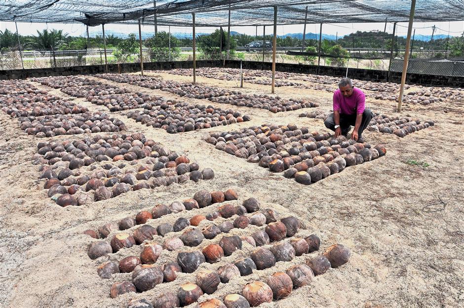 DUNGUN, 16 April -- Seorang pekerja Pusat Pertanian Hulu Paka, Ahmad Mazani Ngah memeriksa benih kelapa pandan yang disemai di tapak semaian Pusat Pertanian Hulu Paka hari ini.Pusat Pertanian Hulu Paka merupakan antara pengeluar benih kelapa pandan terbesar di dalam negara dengan penghasilan sebanyak 30,000 benih kelapa pandan setahun dan mensasarkan pengeluaran sebanyak 120,000 hingga 150,000 benih pokok setahun bagi memenuhi permintaan pasaran dalam negara.-- fotoBERNAMA (2018) HAK CIPTA TERPELIHARA