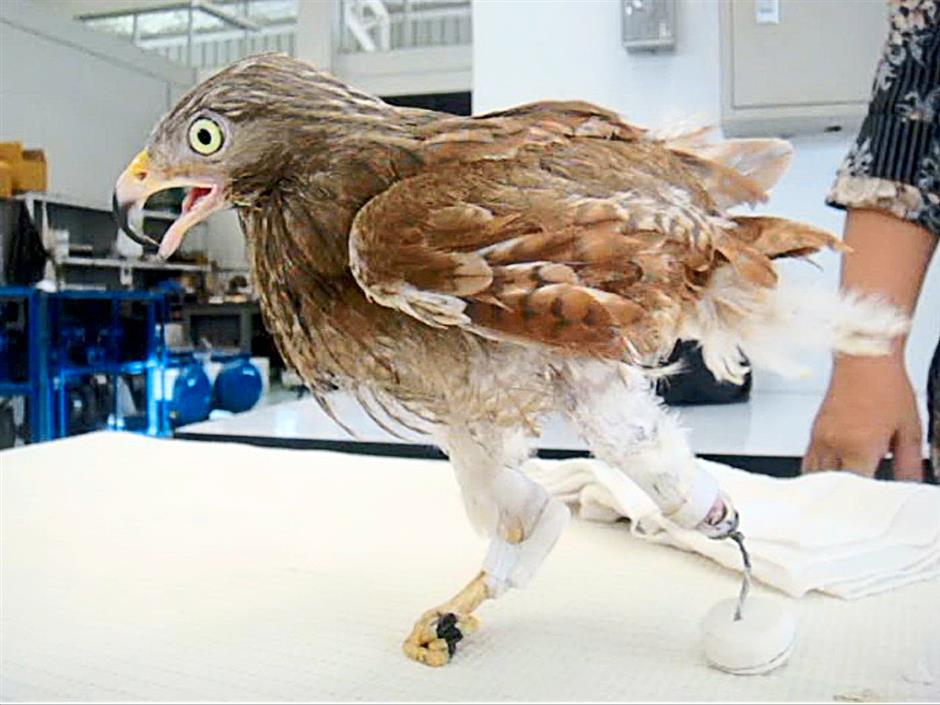 A pet eagle gets a new artificial leg, thanks to Dr Therdchai Jivacate.