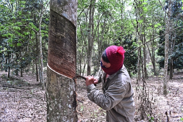 Ah Seng suffers from the declining prices of natural rubber, it is as low as MYR2.40/kg.
