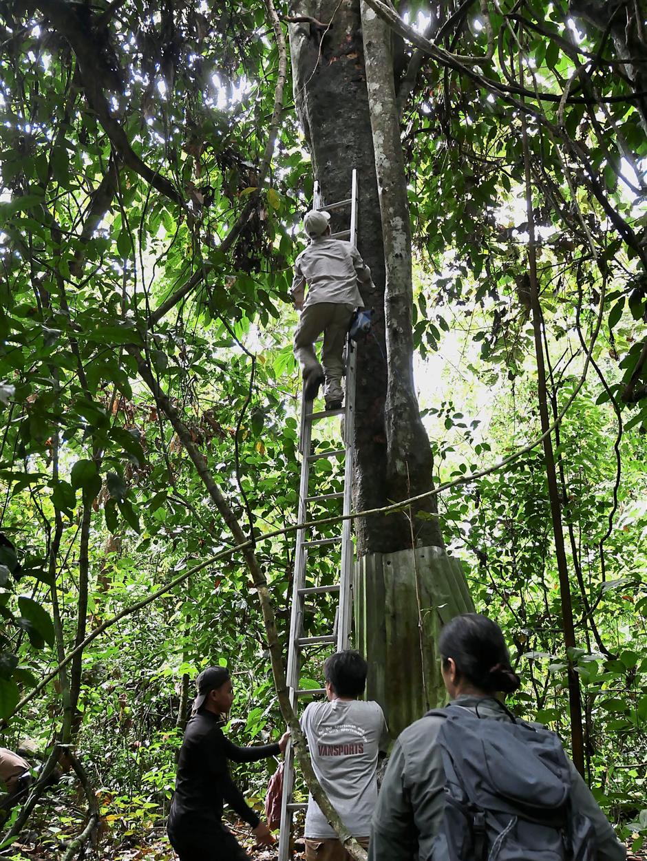Eddie climbs huge trees to seek out the hornbill natural cavities and fix data loggers and motion sensor cameras to gauge their nesting activities for the hornbill project.