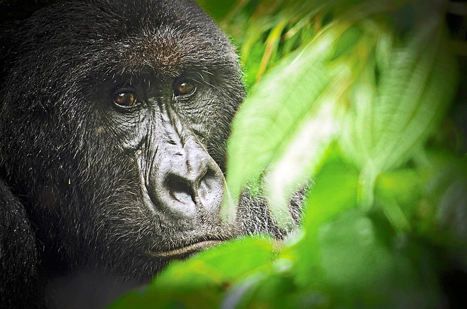 Saved from mining: The Virunga National Park in the Democratic Republic of Congo was where primatologist Dian Fossey conducted her groundbreaking research on mountain gorillas. Oil exploration firm Soco International has stopped its hunt for oil in a part of the park, Africa's oldest. - LUANNE CADD/AFP