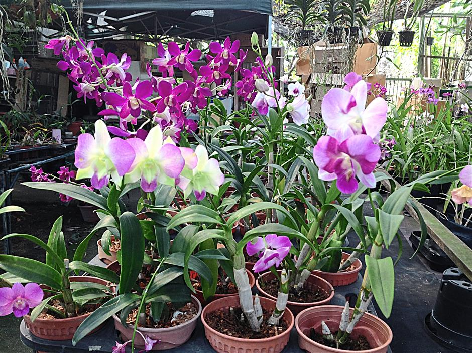 Dendrobium orchids are easy to care for and is perfect for first time growers.